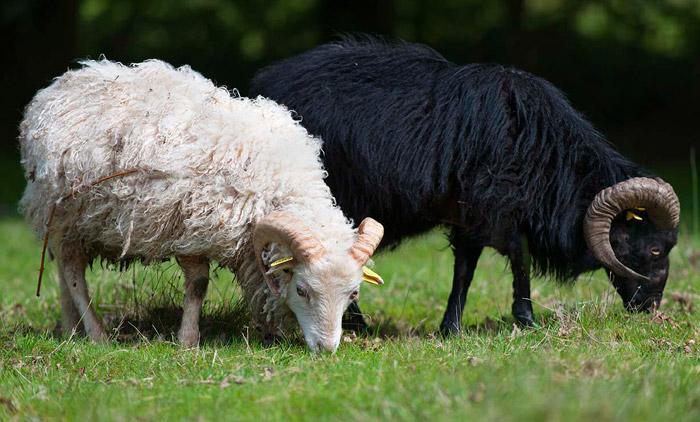 Deux outons d'Ouessant qui mangent de l'herbe sur un espace vert