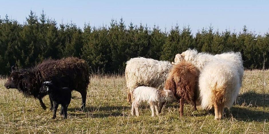 Article Dernière Heure Sheep Solution