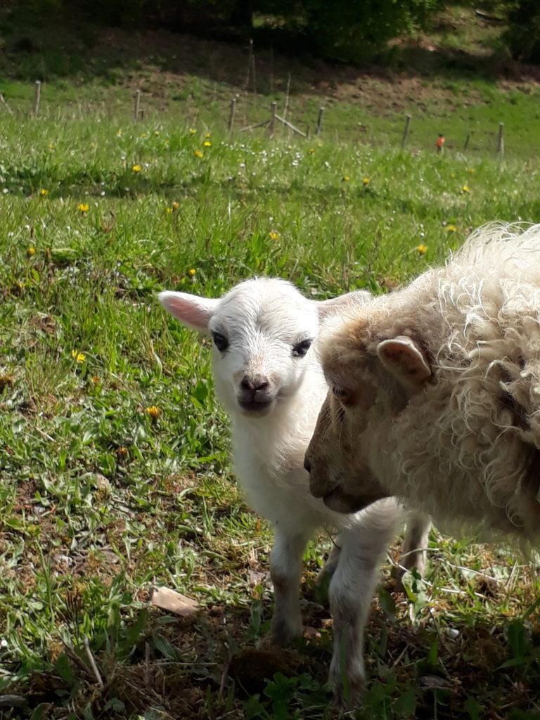 Petit mouton d'Ouessant qui vient de naître, agnelle blanche Ouessant