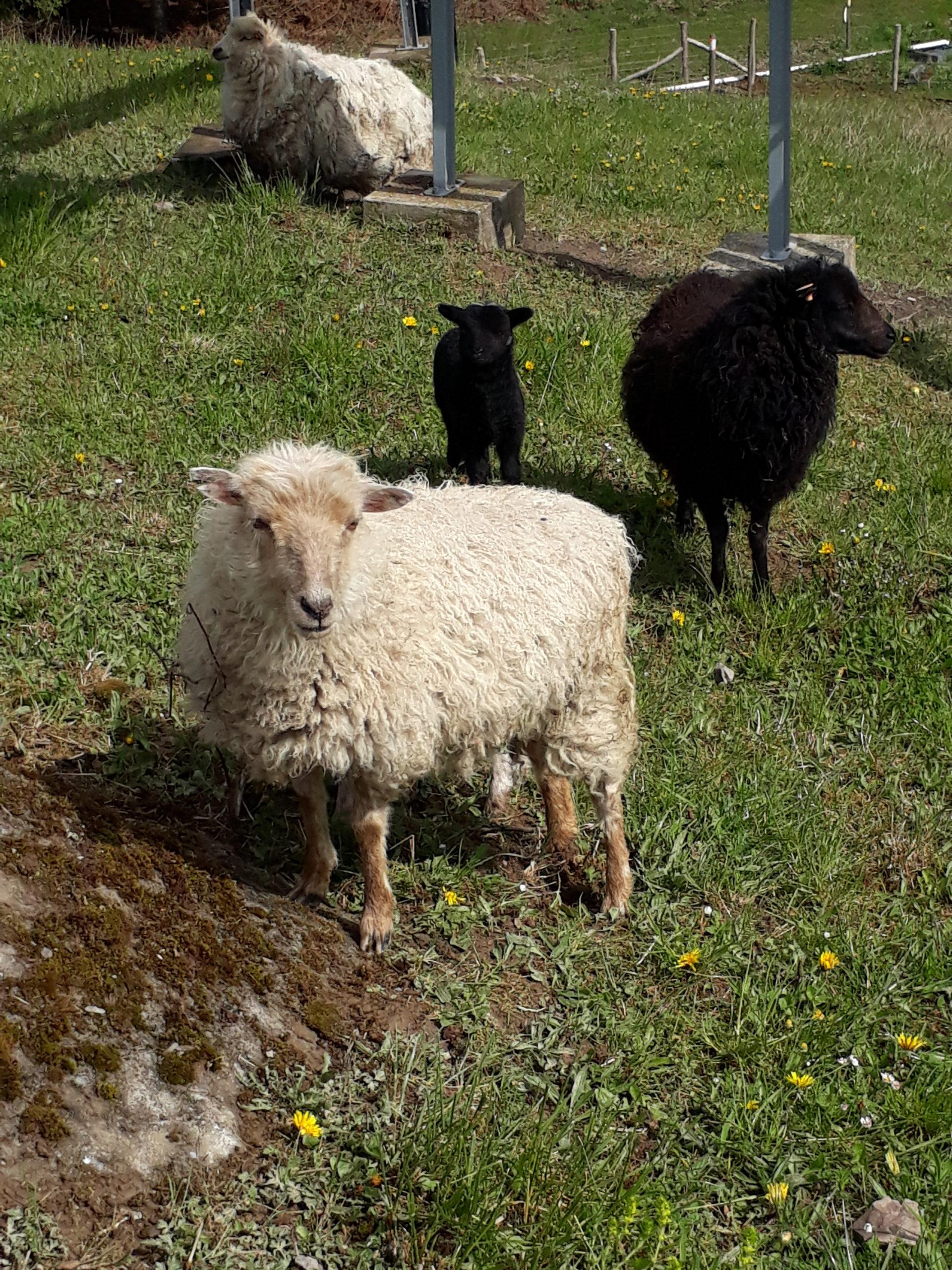 Mouton d'ouessant blanc