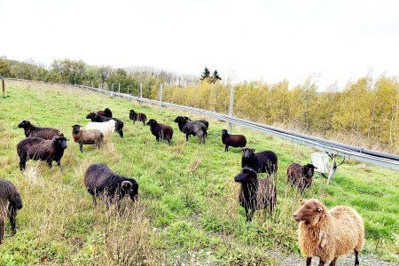 Moutons d'Ouessant sur une ancienne décharge réhabilitée