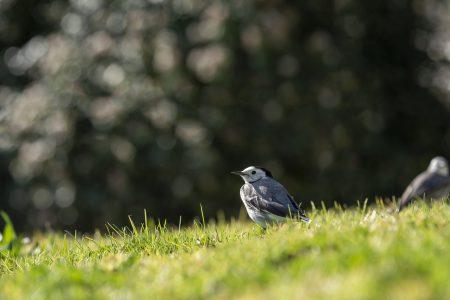 A small bird, White wagtail (Motacilla alba), walking on a green lawn. white wagtail, small bird